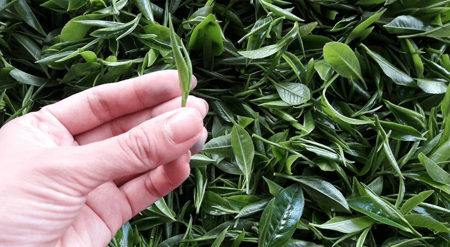 Búp trà Matcha Ngọc Trà