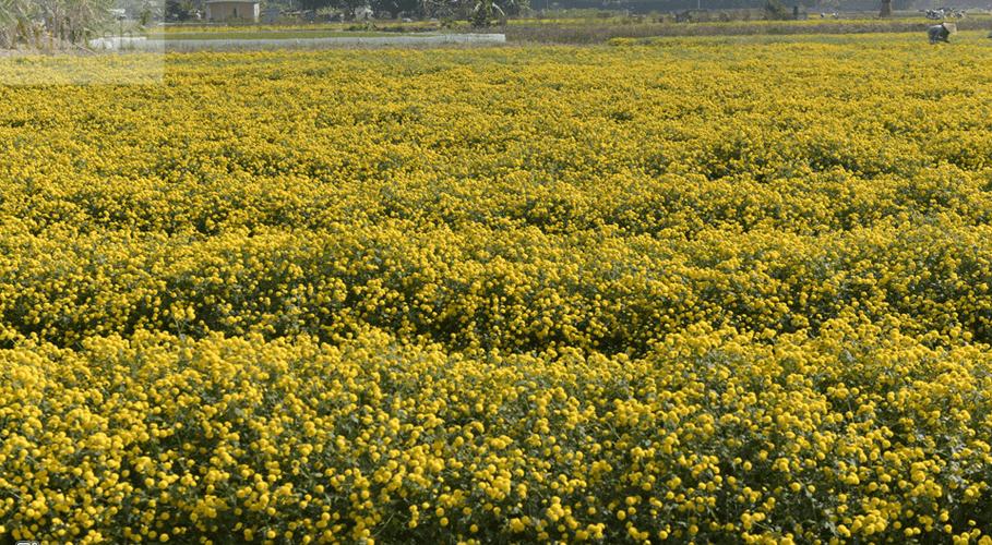 Cánh đồng hoa Cúc trải dài đến tận chân trời