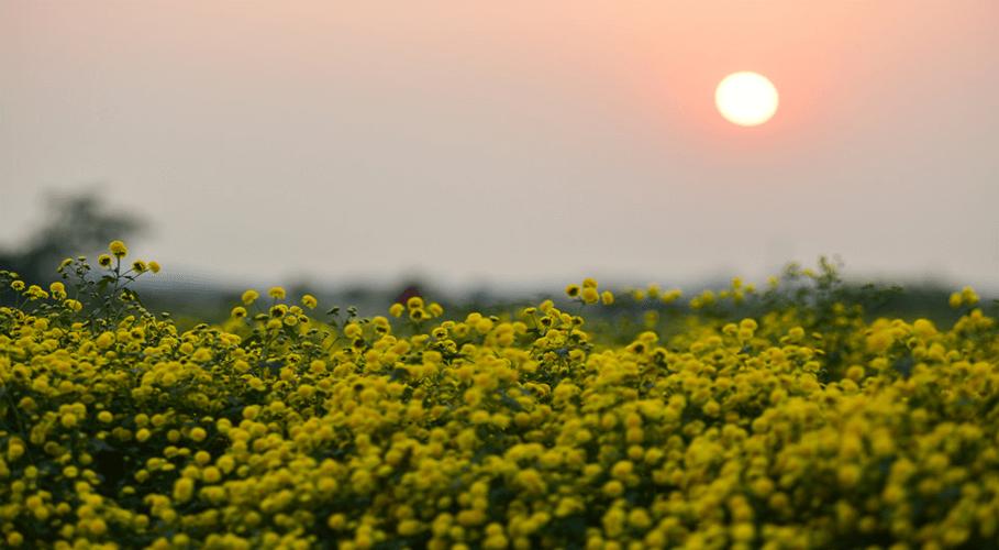 mặt trời xuống núi sau cánh đồng hoa Cúc