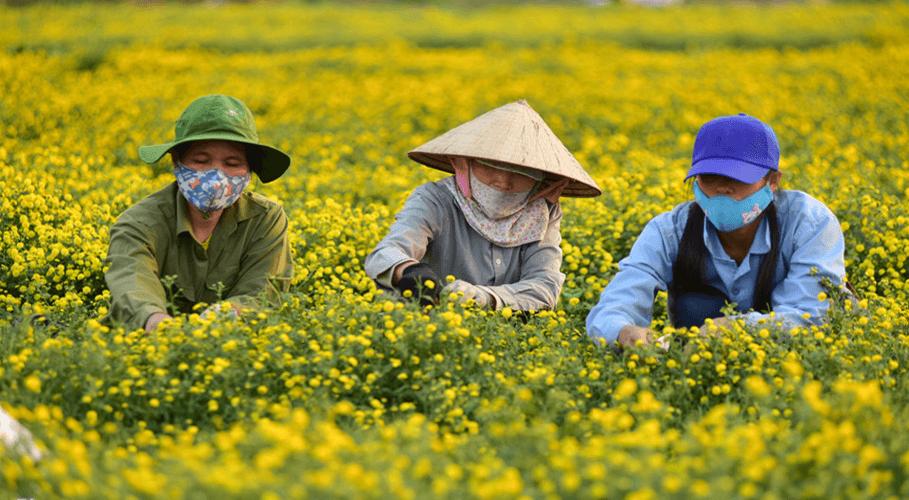 Người dân thu hái Cúc hoa