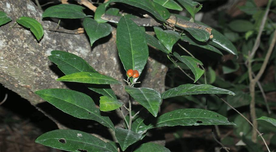 loài Cơm rượu trái hẹp - Glycosmis stenocarpa (Drake) Guillaumin (một loài họ Cam - Rutaceae)