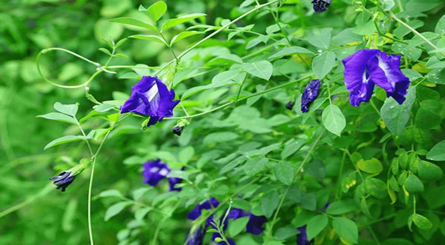 Vườn hoa Đậu biếc