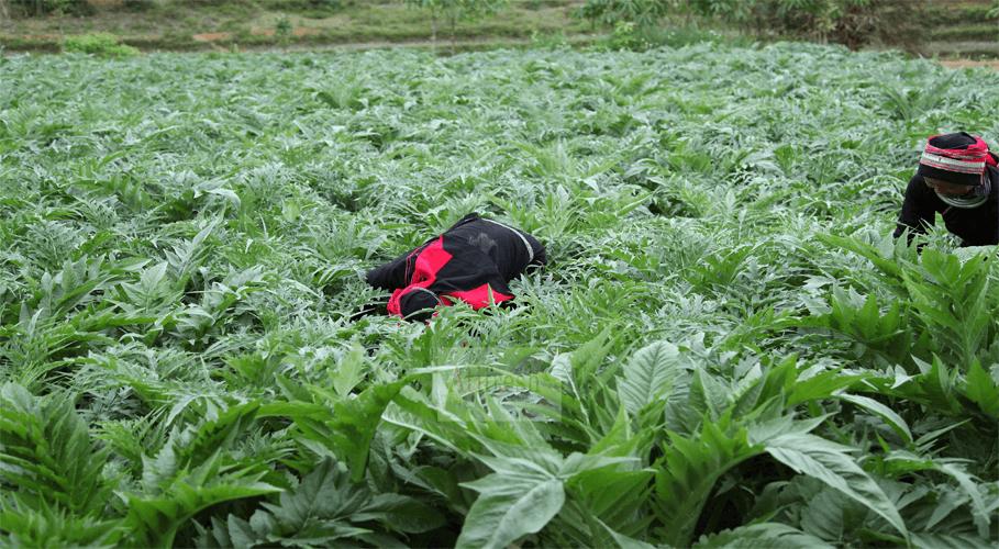 Vùng trồng Atiso